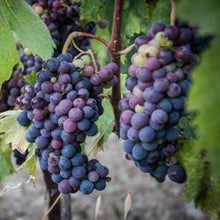 Load image into Gallery viewer, Grape Glenora Seedless