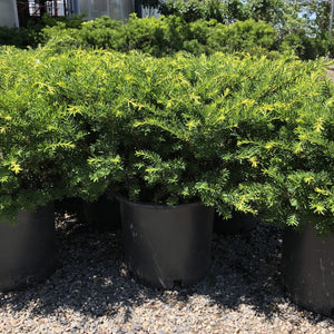 Taxus media 'Everlow' (Yew)