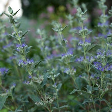 Load image into Gallery viewer, Caryopteris Beyond Midnight (Bluebeard)