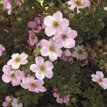 Load image into Gallery viewer, Potentilla fruticosa 'Pink Beauty'
