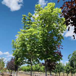 Acer platanoides 'Parkway' (Norway Maple)