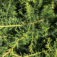 Load image into Gallery viewer, Taxus media 'Everlow' (Yew)