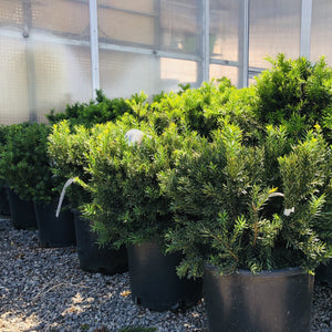 Taxus x media 'Green Spreader' (Green Spreader Yew)
