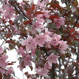 Malus 'Perfect Purple' (Crabapple)