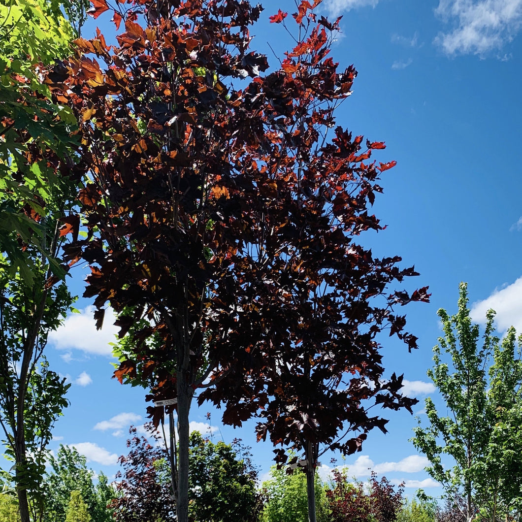 Acer platanoides 'Royal Red' (Norway Maple)