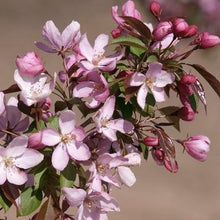 Load image into Gallery viewer, Malus 'Pink Spires' (Crabapple)