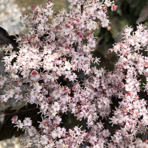 Sambucus nigra 'Black Tower' (Elderberry)