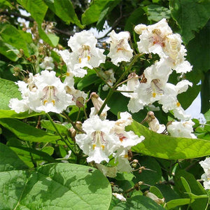 Catalpa speciosa (Northern)