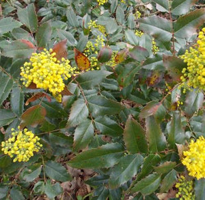 Mahonia repens (Creeping Oregon Grape)