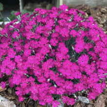 Load image into Gallery viewer, Dianthus 'Neon Star' (Pinks)