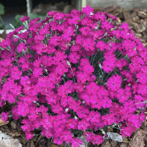 Dianthus 'Neon Star' (Pinks)