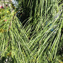 Load image into Gallery viewer, Pinus strobus 'Pendula' (Weeping White Pine)