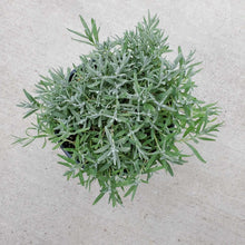 Load image into Gallery viewer, Lavandula angustifolia 'Munstead' (English)