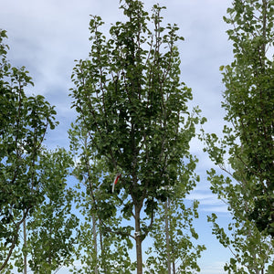 Pyrus calleryana 'Glen's Form' (Chanticleer Pear)