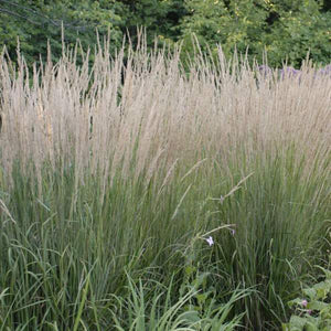 Calamagrostis x acutiflora 'Karl Foerster' (Feather Reed Grass)