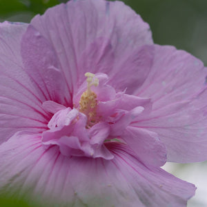 Hibiscus syriacus 'Lavender Chiffon' (Rose of Sharon)