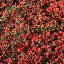 Load image into Gallery viewer, Cotoneaster dammeri 'Lowfast' (Bearberry)