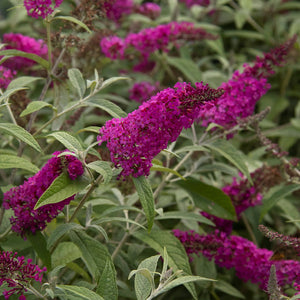 Buddleia 'Miss Ruby' (Butterfly Bush)