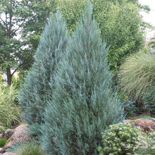 Load image into Gallery viewer, Juniperus scopulorum 'Moonglow' (Juniper)