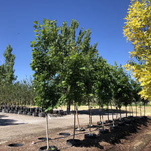 Quercus rubra (Northern Red Oak)