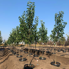 Load image into Gallery viewer, Pyrus calleryana 'Cleveland Select' (Pear)
