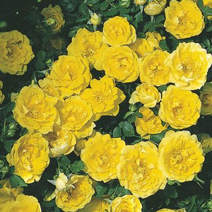 Persian Yellow Foetida Rose