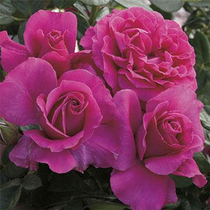 Pretty Lady Rose Hybrid Tea Rose