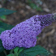 Load image into Gallery viewer, Buddleia 'Pugster Amethyst' (Butterfly Bush)