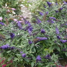 Load image into Gallery viewer, Buddleia 'Pugster Blue' (Butterfly Bush)