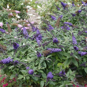 Buddleia 'Pugster Blue' (Butterfly Bush)