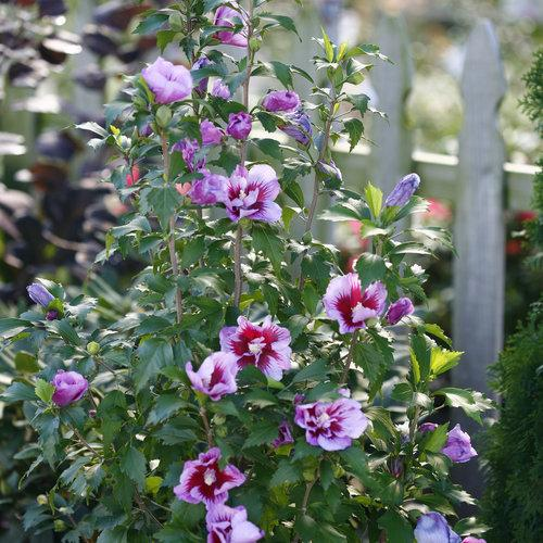 Hibiscus syriacus 'Purple Pillar' (Rose of Sharon)