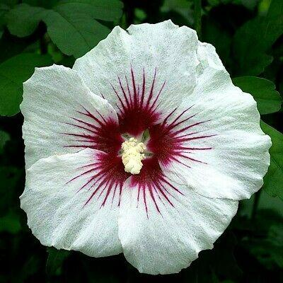 Hibiscus syriacus 'Red Heart' (Rose of Sharon)