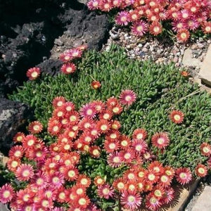 Delosperma dyeri 'Psdold' (Red Mountain Ice Plant)