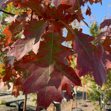 Load image into Gallery viewer, Quercus rubra (Northern Red Oak)