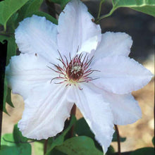 Load image into Gallery viewer, Clematis 'Snow Queen'