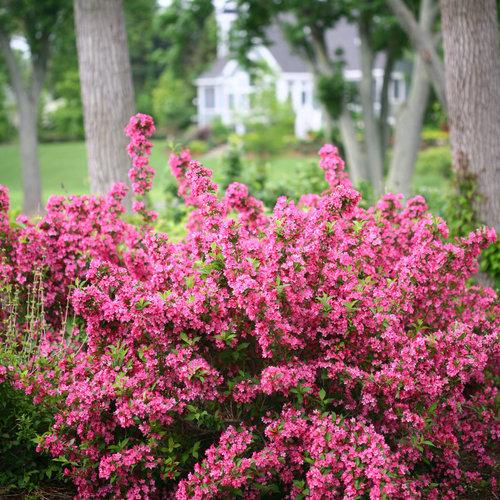 Weigela florida 'Bokrasopin' (Sonic Bloom Pink)