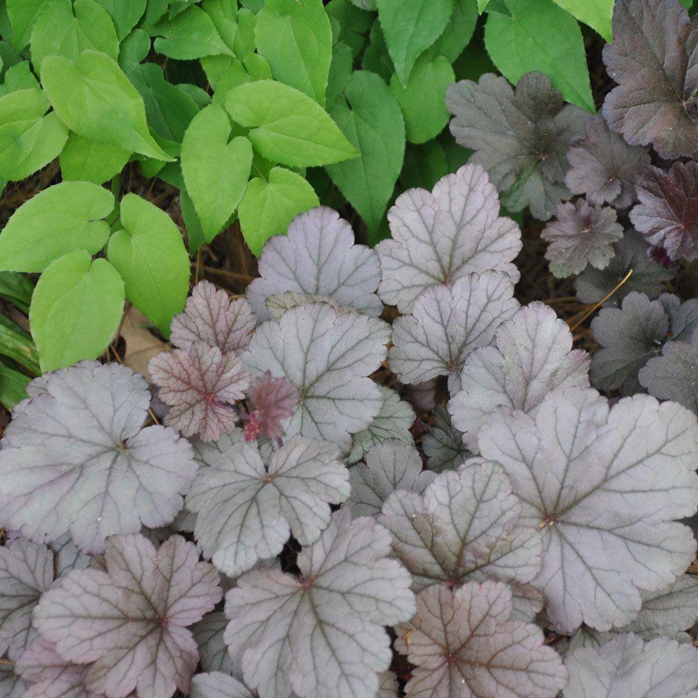 Heuchera 'Stainless Steel' (Coral Bells)