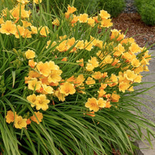 Load image into Gallery viewer, Hemerocallis x 'Stella de Oro' (Daylily)