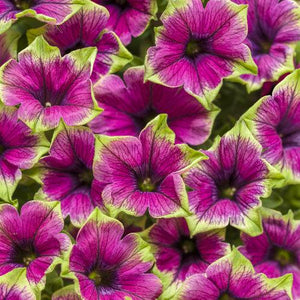 Petunia 'Supertunia Picasso in Purple'
