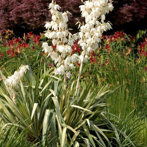 Yucca filamentosa 'Golden Sword' (Adam's Needle)
