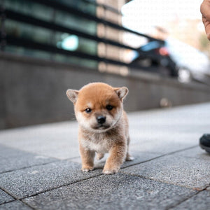 $25.99 Today Only🔥Realistic Shiba Inu Puppy