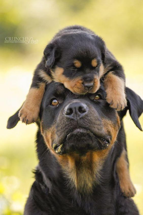 The Newest Puppy🐶 - Realistic Rottweiler Puppy