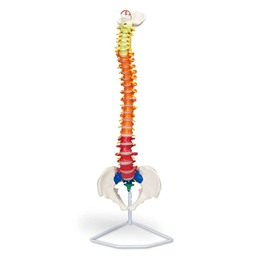 Flexible Vertebrae with Color-Coded Regions