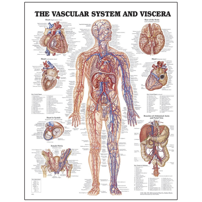 Peter Bachin Anatomical Chart Series - Vascular System and Viscera