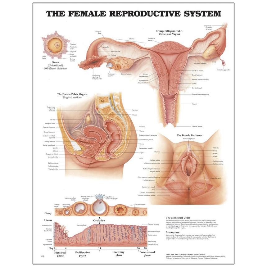 Peter Bachin Anatomical Chart Series - Female Reproductive System