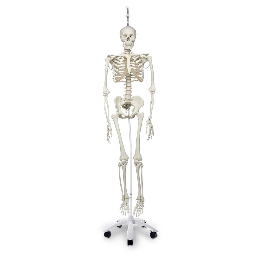 Physiological Skeleton with Hanging Roller Stand - 73-1/4 in.
