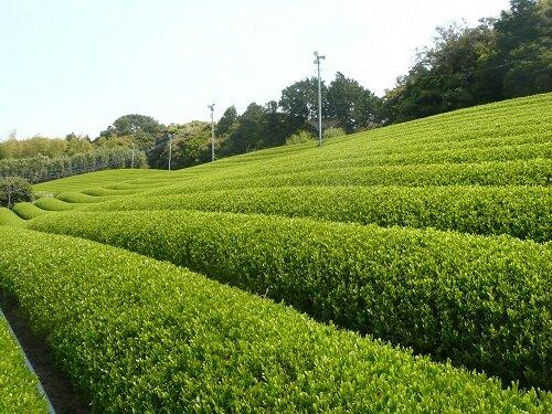 Spring Picking (The World's Best Green Tea)