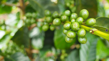 Load image into Gallery viewer, Ethiopia Yirgacheffe - Organic