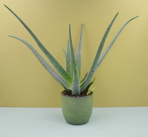 Aloe Vera - The Nectary - Floral Styling