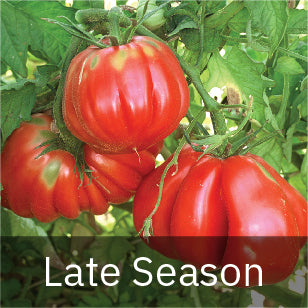 Tomatoes - Late Season